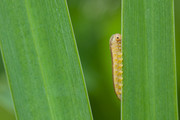 Sawfly caterpillar |