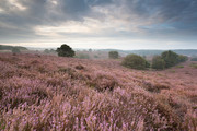 Heathland dawn - Pos
