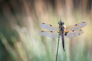 The Dragonfly |