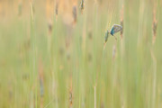 Little Blue | Wijche