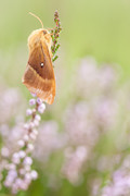 The big fat moth | R